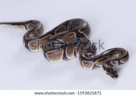 The boa constrictor (Boa constrictor), also called the red-tailed boa or the common boa, is a species of large, non-venomous, heavy-bodied snake that is frequently kept and bred in captivity. #1593825871