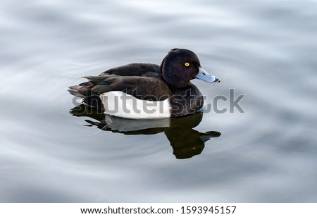 Duck on water scene. Duck water. Duck swim. Ducks swimming water