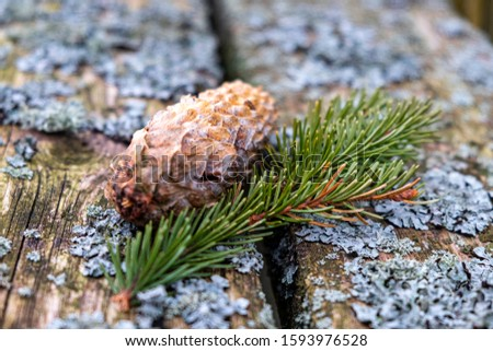 fir cone and fir branch on  old wooden board with moss #1593976528