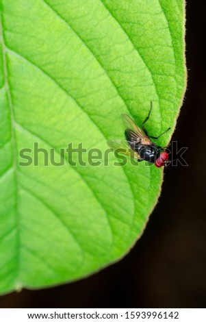 Macro photograph of a domestic fly (Musca domestica). Known by the common names of house fly, house fly, it is a species of brachycerus (flies) in the Muscidae family. close #1593996142