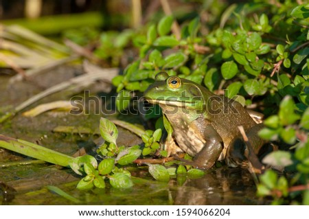 American bullfrog sitting on the edge of a marsh. #1594066204