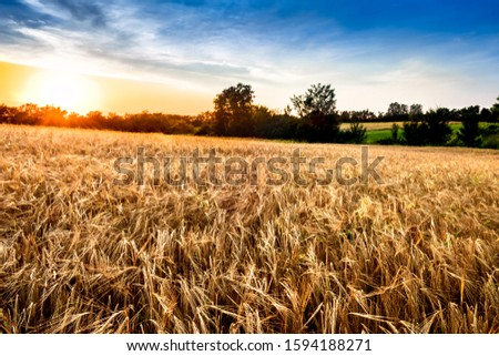 Summer landscape with a sunset over field of ripe barley. #1594188271