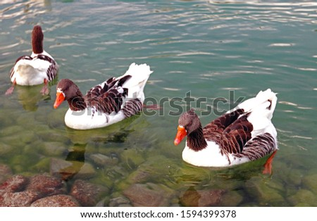 A Pair of Nearly Identical Ducks with Identical Posture #1594399378