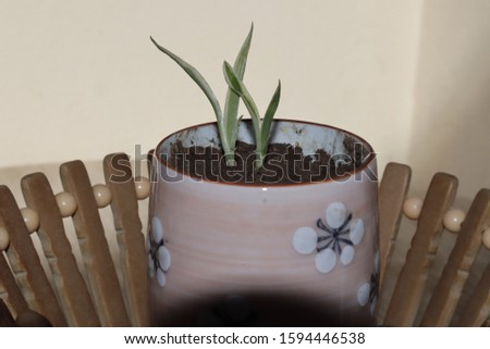 "Banban money, gold ladders, wealthy ladders or aloe vera ""in a cement pot is a sacred tree and herbs have many properties.  Which the Chinese people are very popular in planting at home. #1594446538"