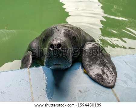 The Amazonian manatee in Peru