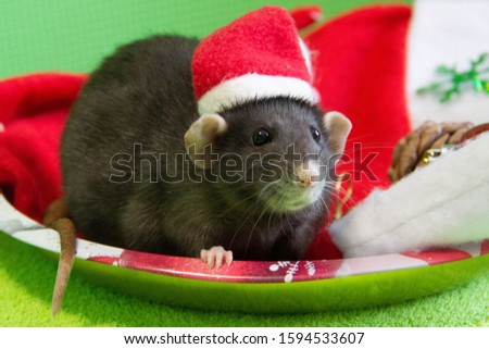 Portrait of a rat in a black Santa hat. New year is the year of the Rat. The symbol of The year is a rat. CHRISTMAS RAT