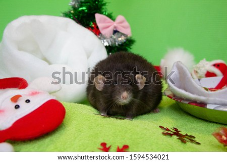 Portrait of a black rat at Christmas. New year is the year of the Rat. The symbol of The year is a rat. Christmas rat.