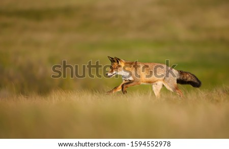 Close up of a red fox (Vulpes vulpes) running in the field of grass. #1594552978