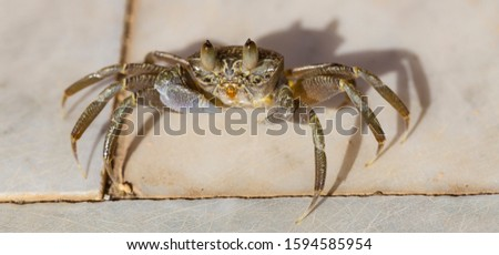 Ghost crabs are semiterrestrial crabs subfamily Ocypodinae. The male is a teenager. Arthropodа on land.  #1594585954