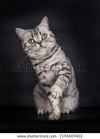 Cute looking Black Silver Tabby spotted British Shorthair Cat with green eyes, sitting with one paw playfull in the air, looking direct into the lens, isolated on a black background #1594609402