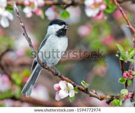 A black capped chickadee singing amongst the blooms. #1594772974