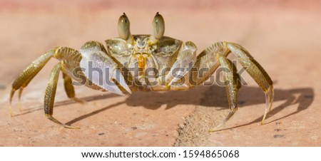 Ghost crabs are semiterrestrial crabs subfamily Ocypodinae.  A male teenager. Arthropods on land. #1594865068