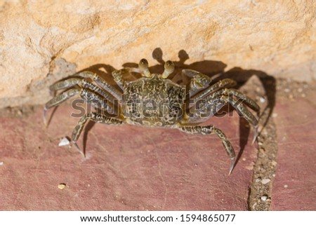 Ghost crabs are semiterrestrial crabs subfamily Ocypodinae.  A male teenager. Arthropods on land. #1594865077