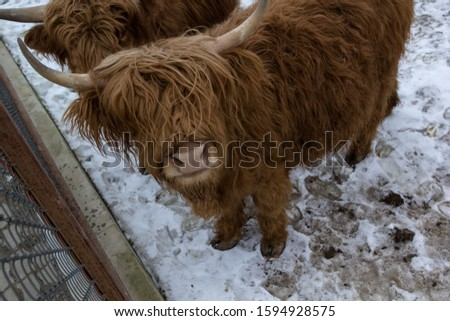 A bull in an exotic park, in winter, under the open sky in Russia. #1594928575