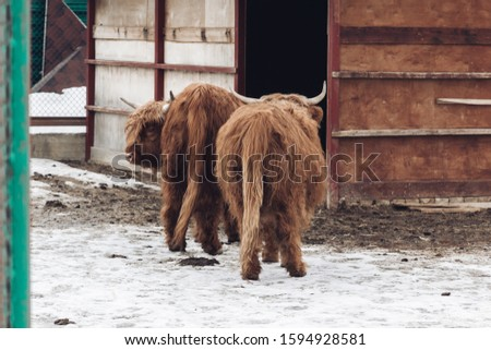 A bull in an exotic park, in winter, under the open sky in Russia. #1594928581