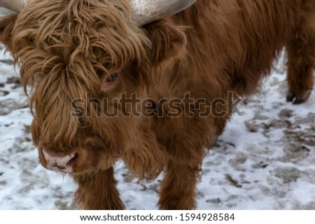 A bull in an exotic park, in winter, under the open sky in Russia. #1594928584