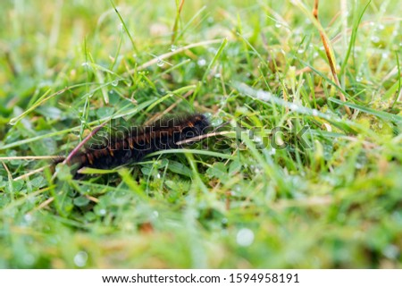 Black caterpillar with yellow stripes (orange stripes) .Striped caterpillar. Black and orange caterpillar in green grass. Larva of insects from the order of Lepidoptera. Beautiful caterpillar. #1594958191