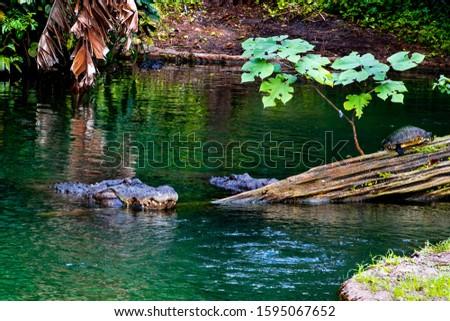 beautiful pictures of alligators in nature