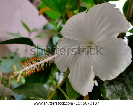 It is very beautiful flower it's colour is White It can plants in some appartments it's viewing is very beautiful #1595070187