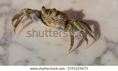 Ghost crabs are semiterrestrial crabs subfamily Ocypodinae.  A male teenager. Arthropods on land. #1595224675