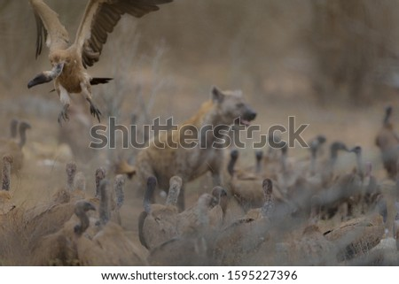 A vulture flying with a blurred hyena in the background