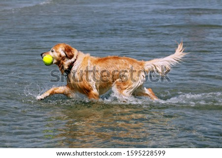 Golden Retriever (Canis lupus familiaris), retrieving a toy from the water #1595228599