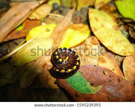 The centipede is a Chilopoda invertebrate in the phylum. The arthropod is a arthropod found in the tropics. #1595239393