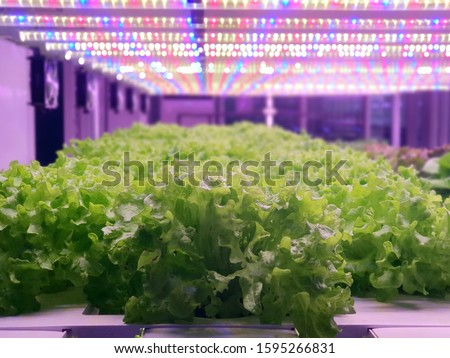 Vegetables are growing in indoor farm/vertical farm. Plants on vertical farms grow with led lights. Vertical farming is sustainable agriculture for future food. #1595266831