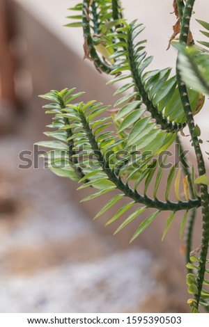 Green leaves of Euphorbia tithymaloides Nana plant.Close up of Centipede plant (Pedilanthus Tithymaloides Nana) #1595390503
