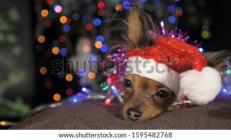 The Toy Terrier is a yellow New Year's dog. A funny dog in a Christmas cap lies and looks around. He falls asleep and wakes up. A background of a fur-tree with shone by lights. #1595482768