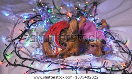 The Toy Terrier is a yellow New Year's dog. Two dogs lie ridiculously and fall asleep. They are surrounded by garlands and are dressed in children's sliders. #1595482822