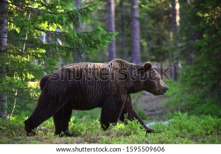 Big Adult Male of Brown bear in the summer forest. Scientific name: Ursus arctos. Natural habitat. #1595509606