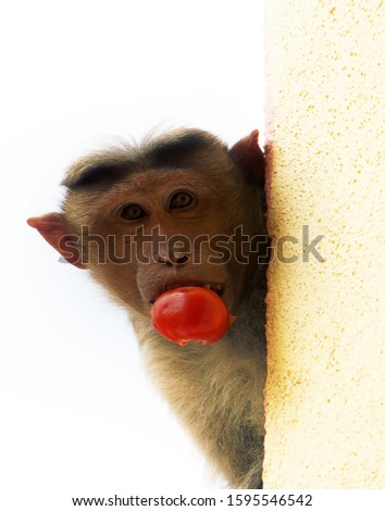 Cool photo. Monkey with stolen tomato in teeth looks around corner. Ironic caption: no, I didn't kipe tomato!