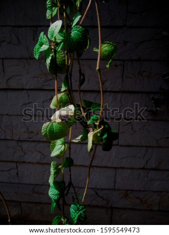 Hedera, commonly called ivy, is a species of evergreen climbing or ground-creeping woody plants. #1595549473