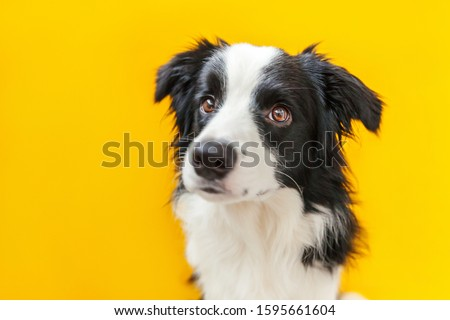 Funny studio portrait of cute smilling puppy dog border collie isolated on yellow background. New lovely member of family little dog gazing and waiting for reward. Pet care and animals concept. #1595661604