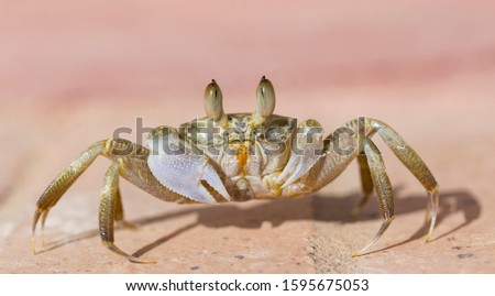 Ghost crabs are semiterrestrial crabs subfamily Ocypodinae.  A male teenager. Arthropods on land. #1595675053