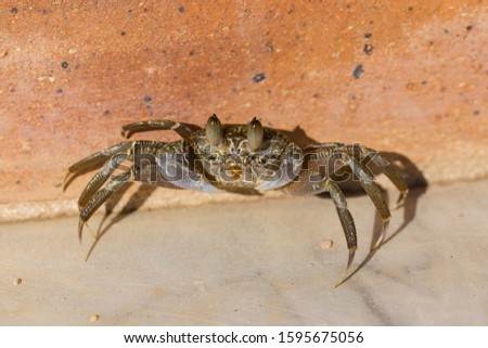Ghost crabs are semiterrestrial crabs subfamily Ocypodinae.  A male teenager. Arthropods on land. #1595675056