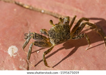 Ghost crabs are semiterrestrial crabs subfamily Ocypodinae.  A male teenager. Arthropods on land. #1595675059