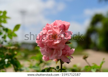 Beauty rose pink flowers in the park #1595712187