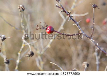 Close-up of red rose hip of Nootka rose in weak autumn sunlight on southern Vancouver Island, British Columbia #1595772550
