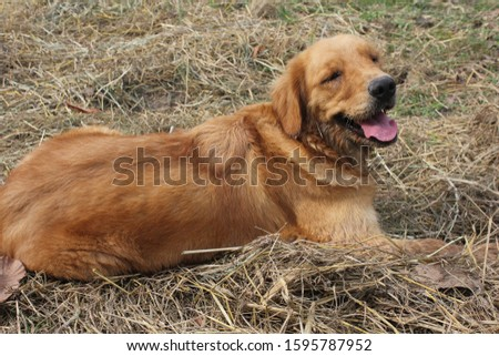 The Golden is a cheerful cheerful dog #1595787952
