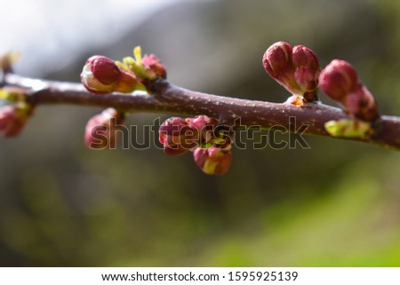 Cherry buds. Cherry buds on a tree branch on a blurred background. #1595925139