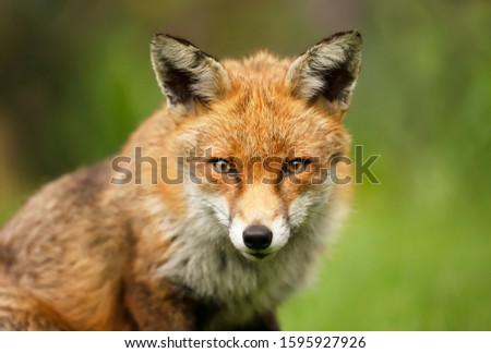 Close up of a red fox (Vulpes vulpes) against green background, UK.