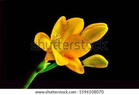 Yellow flower on black background. Yellow flowers. Yellow flower on black. Yellow flower macro view #1596108070