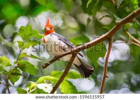 Pic champêtre, Campo Flicker Colaptes campestris - Parque das Aves - Foz do Iguaçu isolated bird in Birds park Foz de iguazu Brazil Red Crested Cardinal Paroaria coronata Paroare hupe