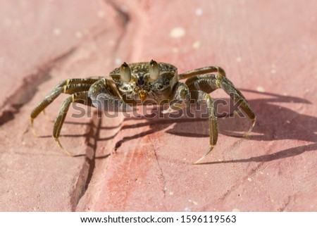 Ghost crabs are semiterrestrial crabs subfamily Ocypodinae.  A male teenager. Arthropods on land. #1596119563