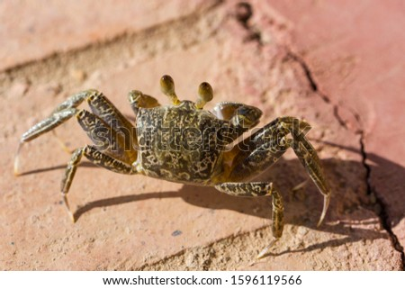 Ghost crabs are semiterrestrial crabs subfamily Ocypodinae.  A male teenager. Arthropods on land. #1596119566