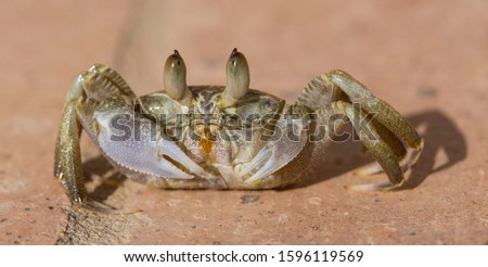 Ghost crabs are semiterrestrial crabs subfamily Ocypodinae.  A male teenager. Arthropods on land. #1596119569