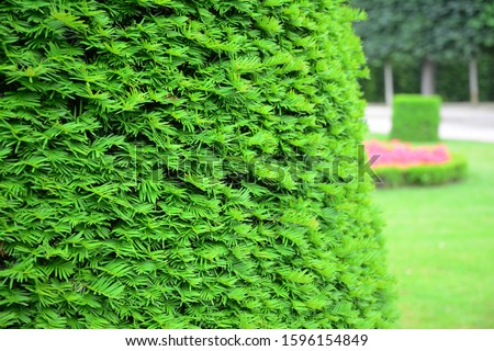 Taxus baccata, European yew hedge background. Yew Hedging. Pruning Yew Hedges. #1596154849
