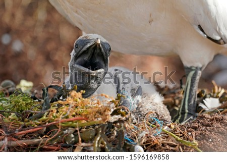 northern gannet (Sula bassana) with chick at Island Helgoland, Schleswig-Holstein, Germany, #1596169858